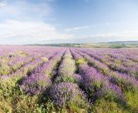 Wiese des Lavendels Stockfotografie