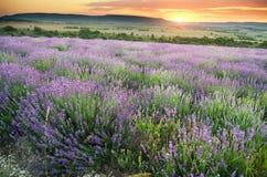 Wiese des Lavendels Lizenzfreie Stockfotos