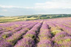 Wiese des Lavendels Stockbild
