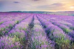 Wiese des Lavendels auf Sonnenuntergang Stockbilder