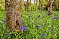 Wiese des Leuchtenden Grüns mit purpurroten blauen Camas-Blumen Stockfoto