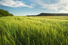 Wiese des Weizens lizenzfreies stockfoto