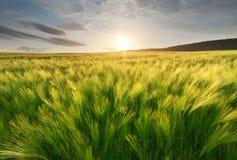 Wiese des Weizens lizenzfreies stockbild