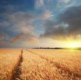 Wiese des Weizens stockfoto
