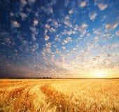Wiese des Weizens stockbilder