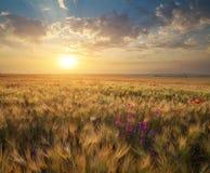 Wiese des Weizens auf Sonnenuntergang lizenzfreie stockfotografie