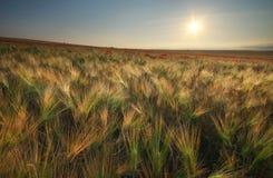 Wiese des Weizens auf Sonnenuntergang Lizenzfreies Stockbild