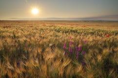 Wiese des Weizens auf Sonnenuntergang Lizenzfreies Stockfoto