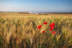 Wiese des Weizens und der Mohnblume stockfoto