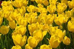 Wiese farbige Tulpen Lizenzfreies Stockbild