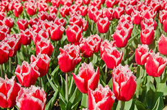 Wiese farbige Tulpen Lizenzfreie Stockfotos
