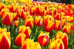 Wiese farbige Tulpen Lizenzfreie Stockfotografie
