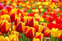 Wiese farbige Tulpen Lizenzfreie Stockbilder