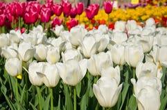 Wiese farbige Tulpen Stockfoto