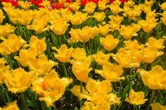 Wiese farbige Tulpen Stockfotos