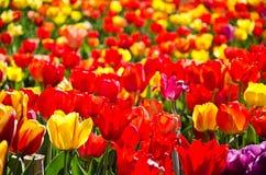 Wiese farbige Tulpen Stockbild