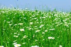 Wiese: Kamillenblumen Stockfoto