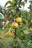 Wiese mit Äpfeln Stockfotos