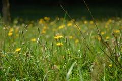 Wiese mit blühenden Blumen Stockfotos