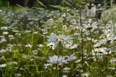 Wiese mit blühenden Gänseblümchen am sonnigen Tag des Sommers Schöne Kamille im Garten lizenzfreies stockbild