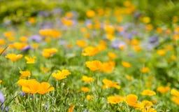 Wiese mit blauer und gelber Blume Stockfotos