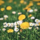 Wiese mit Blumen Klassischer Hintergrund des natürlichen Frühlinges mit blühenden Blumen Stockbilder