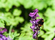 Wiese mit Corydalisblumen von verschiedenen Farben Lizenzfreies Stockfoto