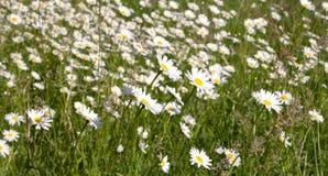 Wiese mit Gänseblümchen im Frühjahr lizenzfreie stockfotografie