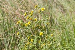 Wiese mit gelben Blumen Lizenzfreie Stockbilder