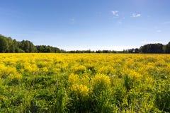 Wiese mit gelber Kresse an einem klaren sonnigen Tag Stockfoto