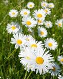 Wiese mit Gänseblümchen im Frühjahr Stockfotos