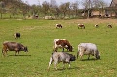 Wiese mit Kühen Lizenzfreie Stockfotografie