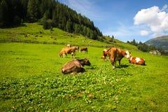 Wiese mit Kühen in den Alpenbergen Lizenzfreies Stockfoto