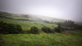 Wiese mit Kühen im Nebel - Azoren-Sao Miguel Portugal lizenzfreie stockfotografie