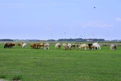 Wiese mit Kühen Texel Lizenzfreies Stockfoto