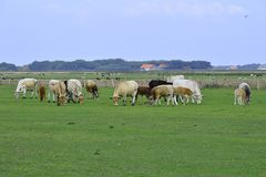 Wiese mit Kühen Texel Lizenzfreies Stockbild
