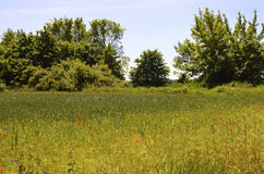 Wiese mit Kornblumen und Mohnblume stockbilder