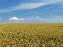 Wiese mit Lot des Getreides Lizenzfreies Stockfoto
