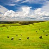 Wiese mit Menge der Schafe Lizenzfreie Stockfotos