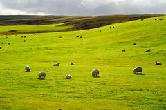 Wiese mit Menge der Schafe Stockfotografie