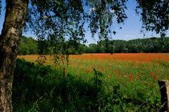 Wiese mit roten Mohnblumen Stockfotos