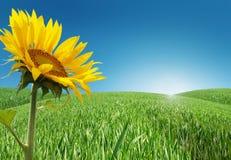 Wiese mit Sonnenblumen Lizenzfreies Stockfoto