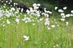 Wiese mit weißen Blumen Stockbilder