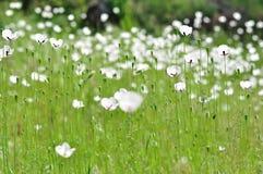 Wiese mit weißen Blumen Stockfotografie