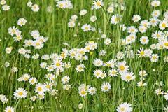 Wiese mit weißen Gänseblümchen stockfoto