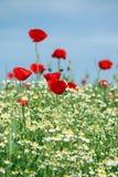 Wiese mit wilden Blumen Lizenzfreie Stockbilder