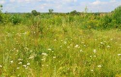 Wiese mit Wildflowers am sonnigen Tag im Juli Stockbild