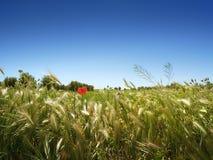 Wiese, Olivenbäume und blauer Himmel Lizenzfreies Stockfoto