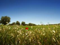 Wiese, Olivenbäume und blauer Himmel Stockfotografie