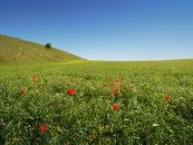 Wiese, Olivenbaum und blauer Himmel Lizenzfreie Stockfotografie